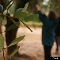 Olive_Harvest_Puglia_Olive