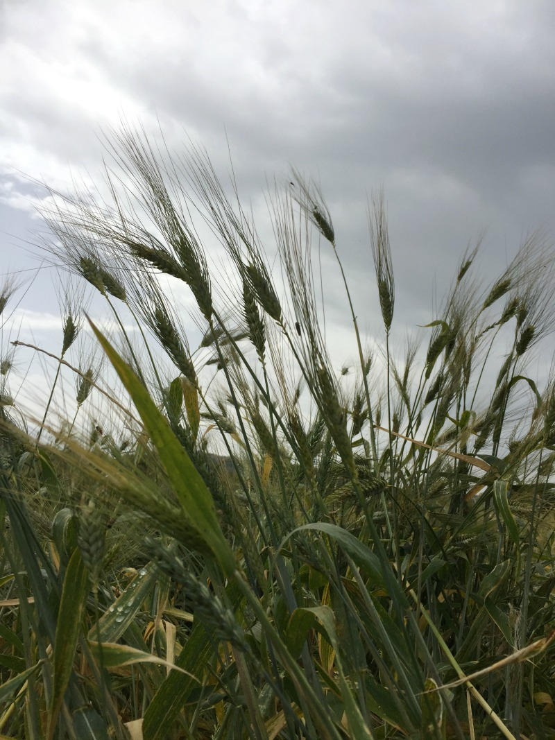 Wheat grown on the premises of Villa Acquaviva in Maremma, Tuscany | BrowsingItaly.com