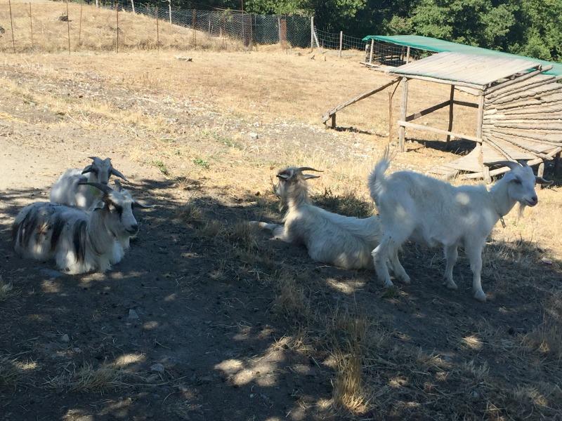 Chianti Cashmere Goat Farm | Slow Travel in Tuscany with Km Zero Tours | BrowsingItaly.com