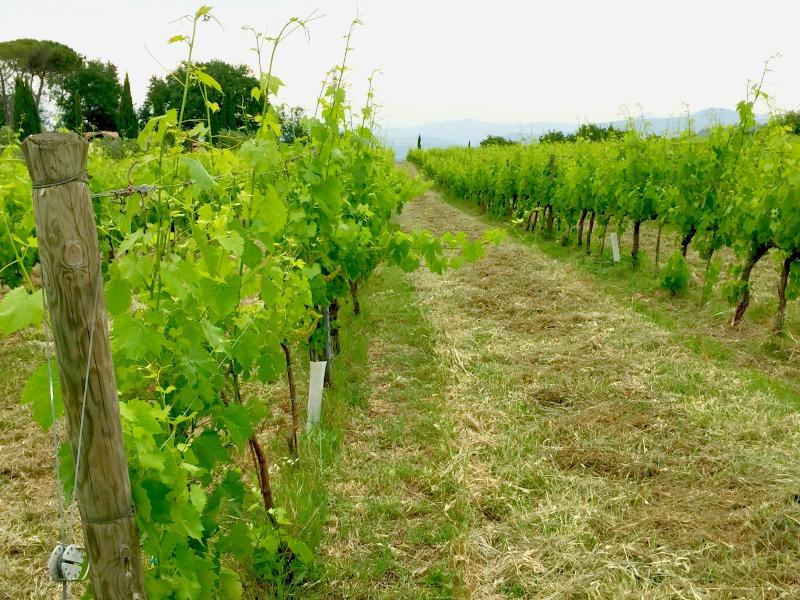 Vineyard at Relais Villa Acquaviva | Maremma, Tuscany