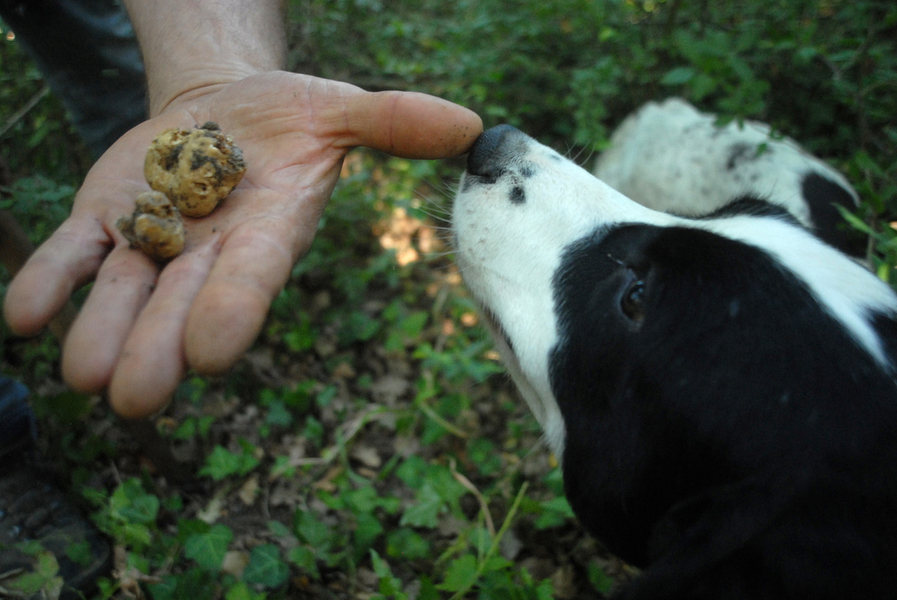 White truffles or bianchetto |Truffle hunting in Agnone, Molise